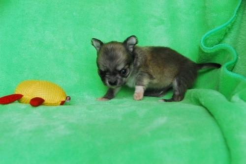チワワ(ロング)の子犬(ID:1256711031)の2枚目の写真/更新日:2020-10-09