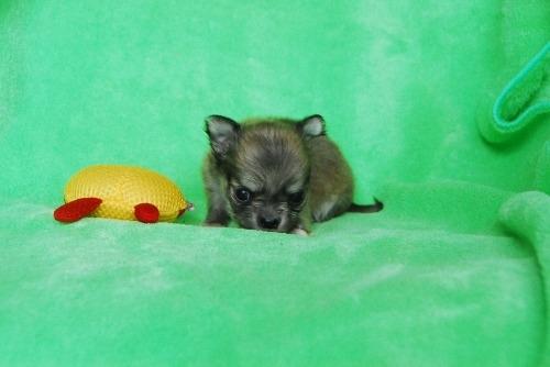チワワ(ロング)の子犬(ID:1256711031)の3枚目の写真/更新日:2020-10-09