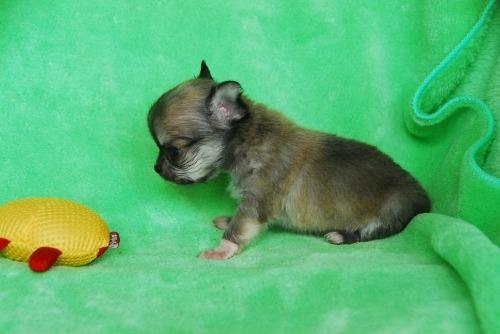 チワワ(ロング)の子犬(ID:1256711031)の4枚目の写真/更新日:2020-10-09