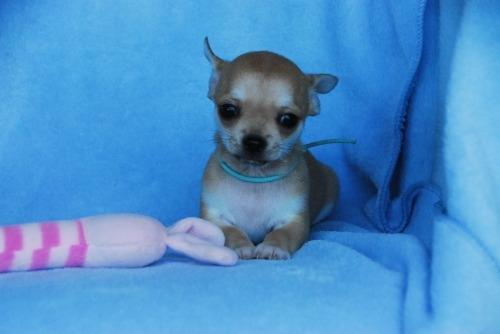 チワワ(スムース)の子犬(ID:1256711032)の1枚目の写真/更新日:2020-10-22