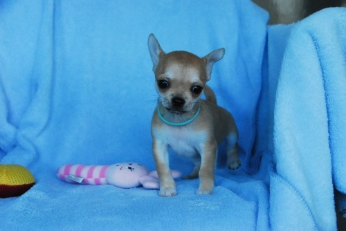 チワワ(スムース)の子犬(ID:1256711032)の2枚目の写真/更新日:2020-10-22