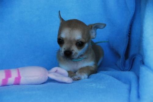 チワワ(スムース)の子犬(ID:1256711032)の3枚目の写真/更新日:2020-10-22
