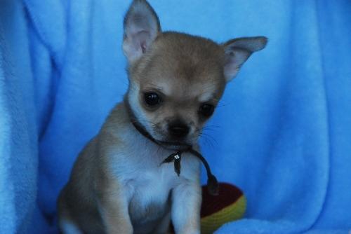 チワワ(スムース)の子犬(ID:1256711033)の1枚目の写真/更新日:2020-10-22