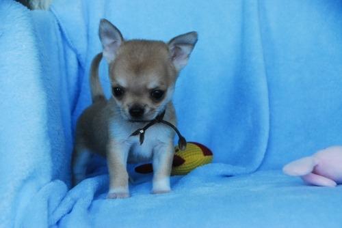 チワワ(スムース)の子犬(ID:1256711033)の2枚目の写真/更新日:2020-10-22