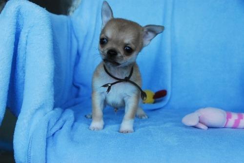 チワワ(スムース)の子犬(ID:1256711033)の3枚目の写真/更新日:2020-10-22