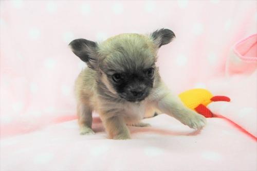 チワワ(ロング)の子犬(ID:1256711034)の1枚目の写真/更新日:2021-02-06
