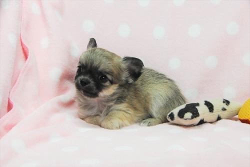 チワワ(ロング)の子犬(ID:1256711034)の2枚目の写真/更新日:2021-02-06