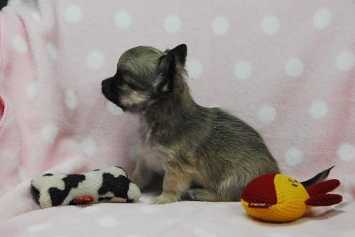 チワワ(ロング)の子犬(ID:1256711034)の4枚目の写真/更新日:2021-02-06
