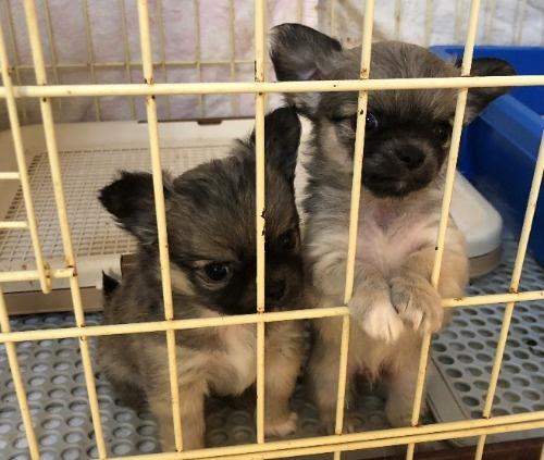 チワワ(ロング)の子犬(ID:1256711034)の5枚目の写真/更新日:2021-02-06