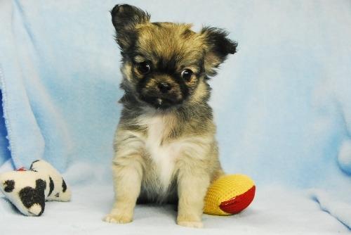 チワワ(ロング)の子犬(ID:1256711035)の1枚目の写真/更新日:2021-02-13