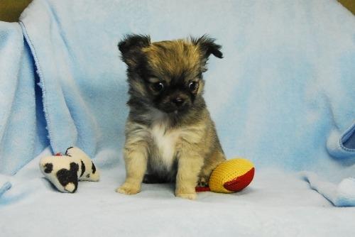 チワワ(ロング)の子犬(ID:1256711035)の2枚目の写真/更新日:2021-02-13