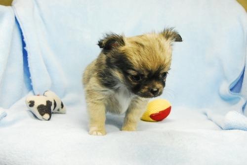 チワワ(ロング)の子犬(ID:1256711035)の3枚目の写真/更新日:2021-02-13