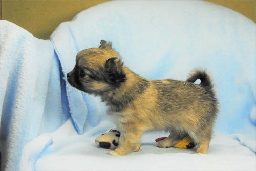 チワワ(ロング)の子犬(ID:1256711035)の4枚目の写真/更新日:2021-02-13