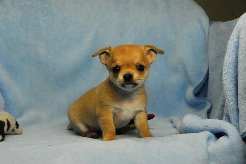 チワワ(スムース)の子犬(ID:1256711036)の1枚目の写真/更新日:2021-02-13