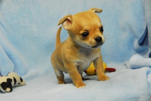 チワワ(スムース)の子犬(ID:1256711036)の2枚目の写真/更新日:2021-02-13