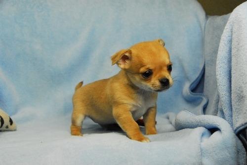 チワワ(スムース)の子犬(ID:1256711036)の3枚目の写真/更新日:2021-02-13