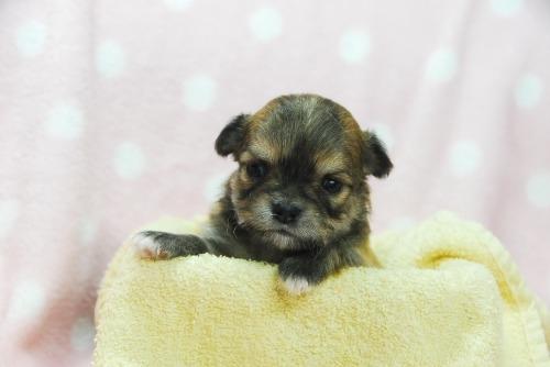 チワワ(ロング)の子犬(ID:1256711037)の1枚目の写真/更新日:2021-01-25