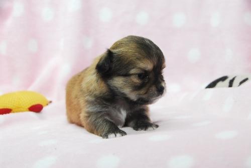 チワワ(ロング)の子犬(ID:1256711037)の3枚目の写真/更新日:2021-01-25