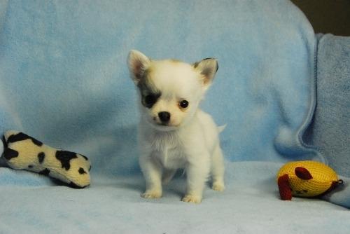 チワワ(ロング)の子犬(ID:1256711038)の1枚目の写真/更新日:2021-02-13