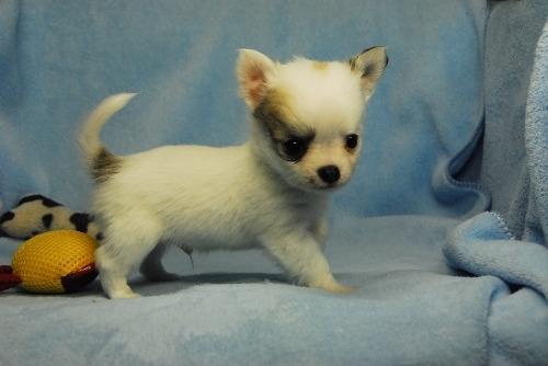 チワワ(ロング)の子犬(ID:1256711038)の2枚目の写真/更新日:2021-02-13