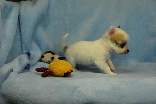チワワ(ロング)の子犬(ID:1256711038)の4枚目の写真/更新日:2021-02-13
