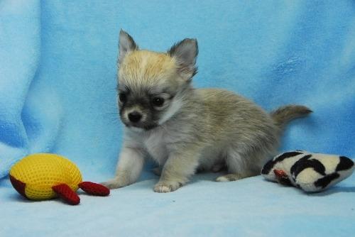 チワワ(ロング)の子犬(ID:1256711039)の2枚目の写真/更新日:2021-02-13