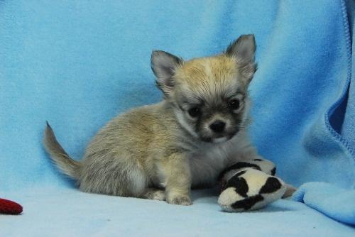 チワワ(ロング)の子犬(ID:1256711039)の3枚目の写真/更新日:2021-02-13