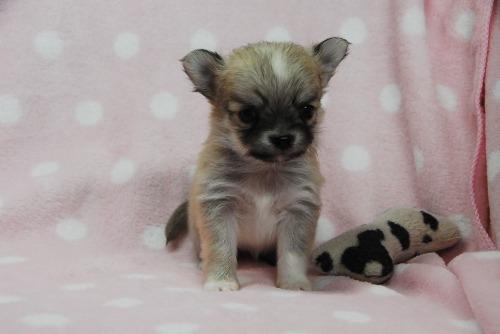 チワワ(ロング)の子犬(ID:1256711040)の1枚目の写真/更新日:2021-02-07