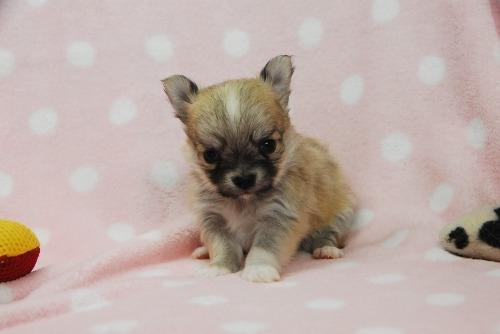 チワワ(ロング)の子犬(ID:1256711040)の2枚目の写真/更新日:2021-02-07