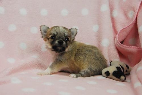 チワワ(ロング)の子犬(ID:1256711040)の3枚目の写真/更新日:2021-02-07
