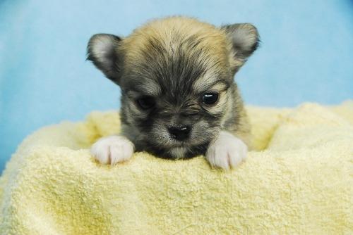 チワワ(ロング)の子犬(ID:1256711041)の1枚目の写真/更新日:2021-02-02