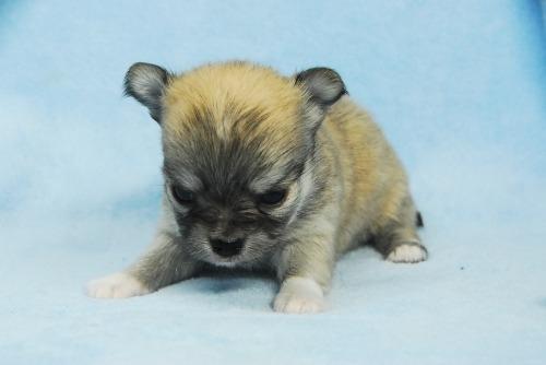 チワワ(ロング)の子犬(ID:1256711041)の2枚目の写真/更新日:2021-02-02