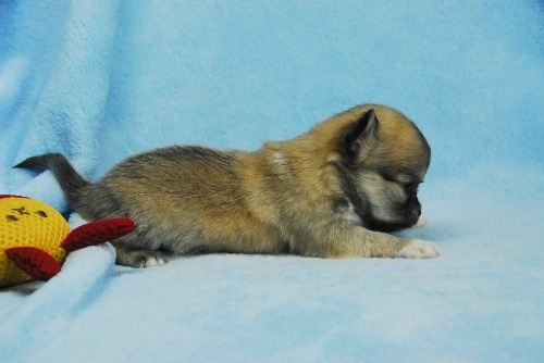 チワワ(ロング)の子犬(ID:1256711041)の3枚目の写真/更新日:2021-02-02