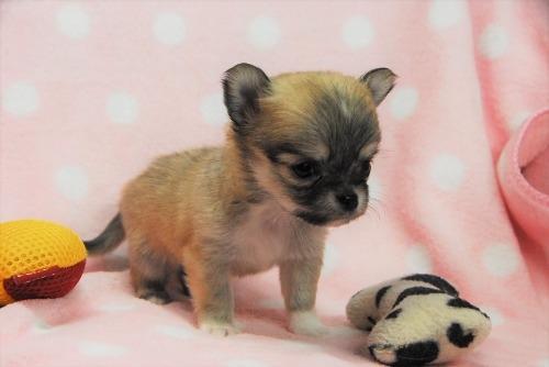 チワワ(ロング)の子犬(ID:1256711042)の2枚目の写真/更新日:2021-02-07