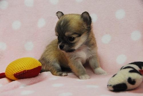 チワワ(ロング)の子犬(ID:1256711042)の3枚目の写真/更新日:2021-02-07