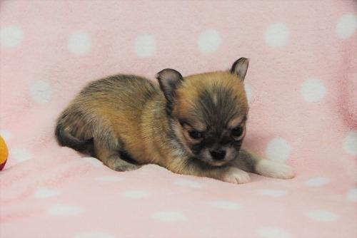 チワワ(ロング)の子犬(ID:1256711042)の4枚目の写真/更新日:2021-02-07