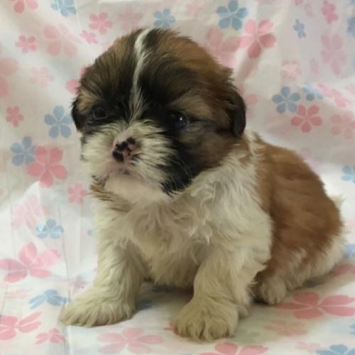 シーズーの子犬(ID:1256811042)の1枚目の写真/更新日:2017-02-17