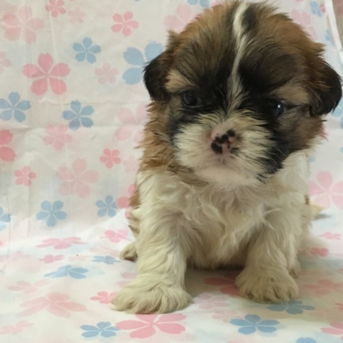 シーズーの子犬(ID:1256811042)の2枚目の写真/更新日:2017-02-17