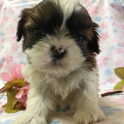 シーズーの子犬(ID:1256811043)の1枚目の写真/更新日:2017-02-17