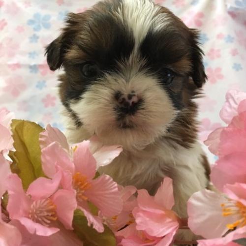 シーズーの子犬(ID:1256811043)の2枚目の写真/更新日:2017-02-17