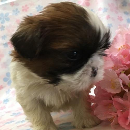 シーズーの子犬(ID:1256811043)の3枚目の写真/更新日:2017-02-17