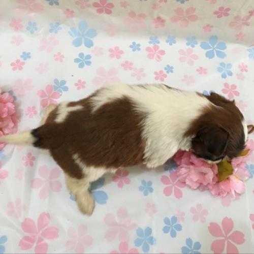 シーズーの子犬(ID:1256811043)の4枚目の写真/更新日:2017-02-17