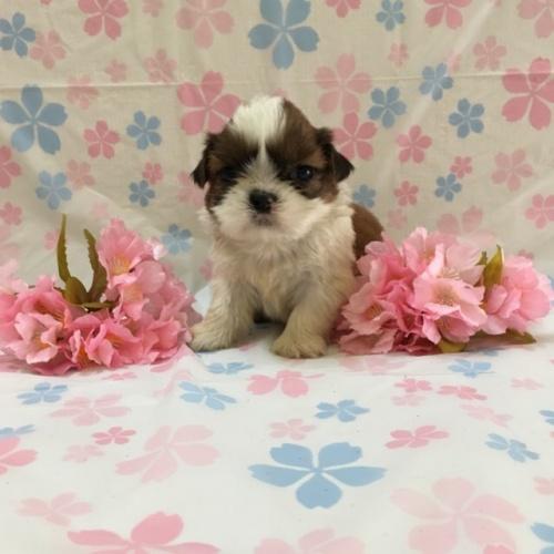 シーズーの子犬(ID:1256811044)の1枚目の写真/更新日:2017-02-17