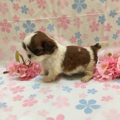 シーズーの子犬(ID:1256811044)の2枚目の写真/更新日:2017-02-17