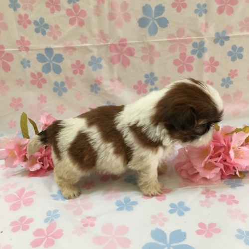 シーズーの子犬(ID:1256811044)の3枚目の写真/更新日:2017-02-17