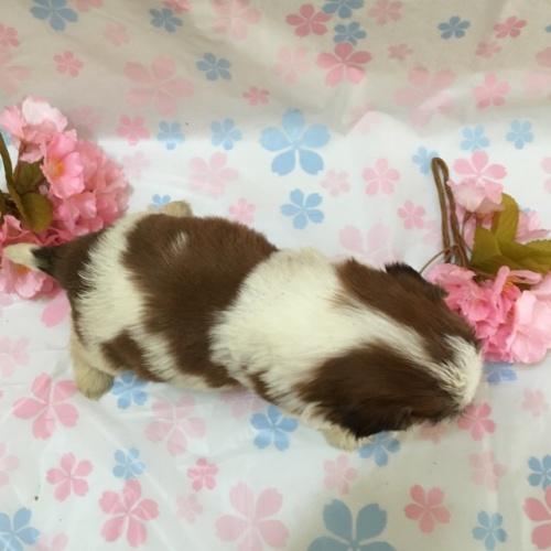 シーズーの子犬(ID:1256811044)の4枚目の写真/更新日:2017-02-17