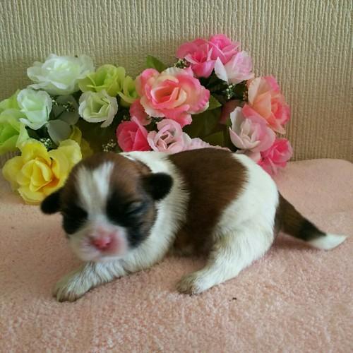 シーズーの子犬(ID:1256811045)の3枚目の写真/更新日:2017-02-17
