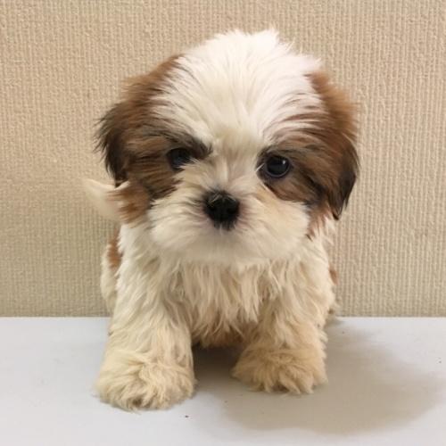 シーズーの子犬(ID:1256811050)の1枚目の写真/更新日:2017-04-14