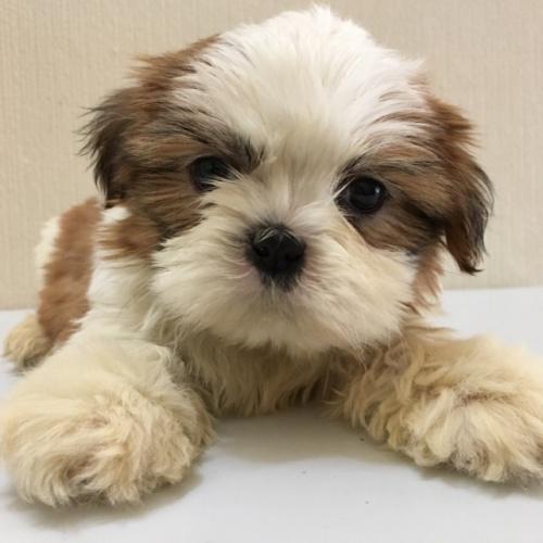 シーズーの子犬(ID:1256811050)の2枚目の写真/更新日:2017-04-14