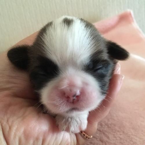 シーズーの子犬(ID:1256811053)の1枚目の写真/更新日:2017-05-30
